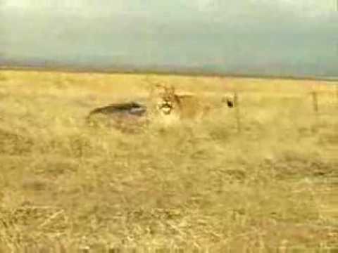 Wild-Boar-vs-Lion