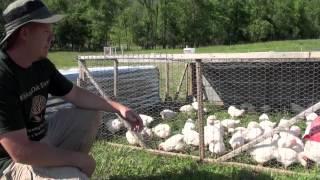 getlinkyoutube.com-How to raise Meat Chickens