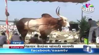 Khillar bull breed are in great demand