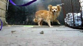getlinkyoutube.com-Rescuing 4 Pomeranians that were dumped on the streets. (By Eldad Hagar)
