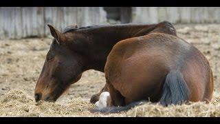 getlinkyoutube.com-هل تعلم لماذا يجب قتل الحصان اذا إنكسرت ساقه ؟؟ سبحان الله !!!