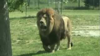 FACING A MUSCULAR 300 KG LION!!! ( Panthera)