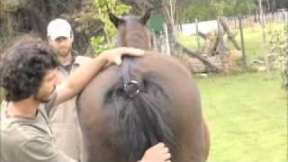 getlinkyoutube.com-levantador de manos y patas para caballos complicados