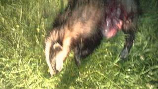 getlinkyoutube.com-fox hunting,hare hunting, badger and rabbits