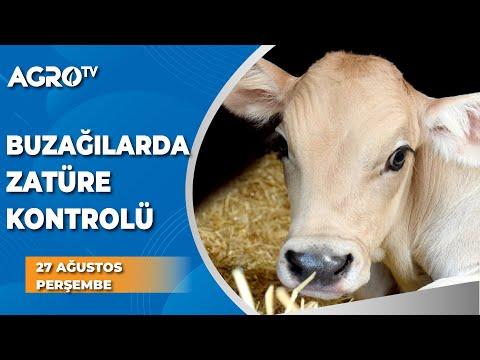Buzağılarda Zatüre Kontrolü / AGRO TV