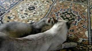 getlinkyoutube.com-Ferret and cat in love?!?!
