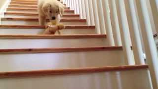 getlinkyoutube.com-Boomer: The Golden Retriever Puppy