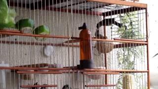 getlinkyoutube.com-Coleiro casal criando três filhotes e coleiro Pelado cantando
