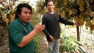 getlinkyoutube.com-สวนองุ่นในอิสราเอลโดยชาวไทย