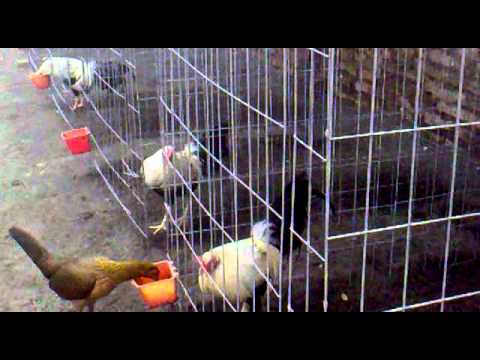 gallos rym polloss de ste año para venta