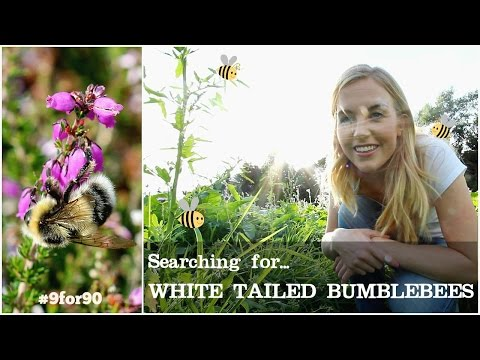 Searching for the White Tailed Bumblebee | Maddie Moate