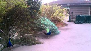 getlinkyoutube.com-Peacock fight!!