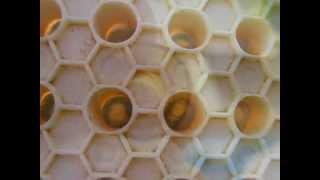 getlinkyoutube.com-Cresterea matcilor cu Cutia Nicot 2012   ziua 4   pregatirea ramei portbotci