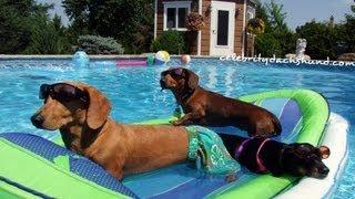 getlinkyoutube.com-Wiener Dog Pool Party - Featuring Crusoe Celebrity Dachshund - GoPro