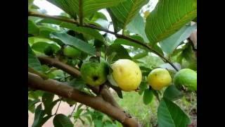 getlinkyoutube.com-Se você Soubesse os Benefícios da Folha da Goiabeira Tomaria o Chá sempre