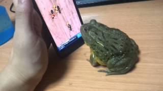 getlinkyoutube.com-African Bull Frog ant crusher