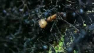getlinkyoutube.com-Hormigas asesinas ( parte 2 de 5 )