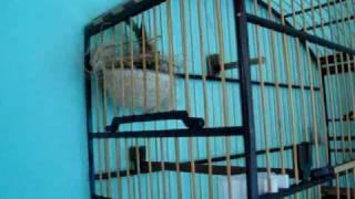 getlinkyoutube.com-Femea de Coleiro Lilica Machiando (Aracruz - E.S)