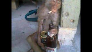 getlinkyoutube.com-สุดสลด  ลิงเมาเหล้าขาว !!
