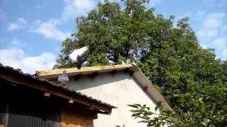 Educatia Porumbeilor - To Fly or NOT To Fly Near the LOFT