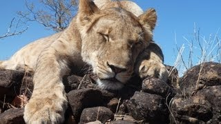 getlinkyoutube.com-Walking With Lions