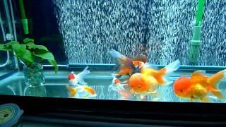 getlinkyoutube.com-Goldfish Tank
