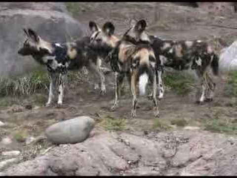 Videos Related To 'african Wild Dog- Amazing Predator'