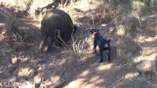 getlinkyoutube.com-jagd terrier iron du haut de koeking débourage sur sanglier à 4 mois