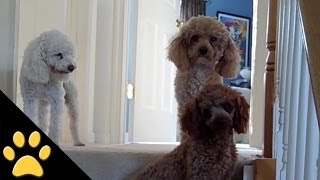 getlinkyoutube.com-Poodles Are Awesome: Compilation