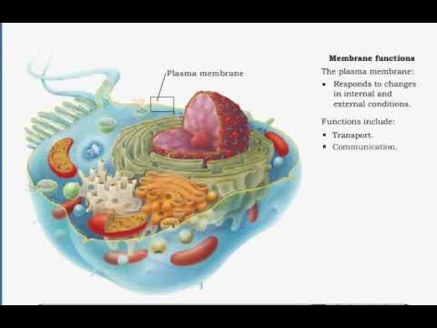 The Plasma Membrane - functions , transport , communication