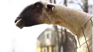 getlinkyoutube.com-insan gibi bagıran keçiler.....  KESİNLİKLE İZLE.  Keçiler keçileri kaçırmış olmalı :)