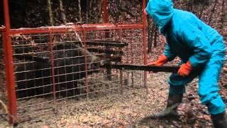 getlinkyoutube.com-箱罠に入った120キロの猪。