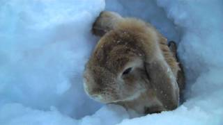 getlinkyoutube.com-Rabbits playing in the snow!