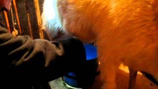 getlinkyoutube.com-Как доит козу, практические советы, общий процесс  дойки  из личного опыта.