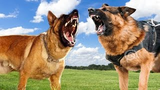 getlinkyoutube.com-Belgian Malinois vs German Shepherd - Dog Comparison K9