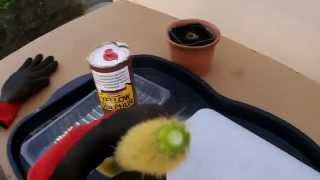 getlinkyoutube.com-How to take and root Cactus cuttings and save a cactus from rot