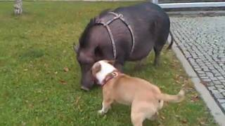 getlinkyoutube.com-JACK THE PIG KILLER - Bull Terrier Miniature