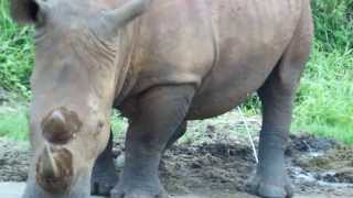 getlinkyoutube.com-Rhino Peeing