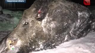 getlinkyoutube.com-Самый большой кабан в мире убит в Свердловской области, удачная охота на кабана