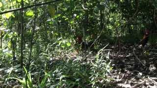 getlinkyoutube.com-ayam hutan 46#1
