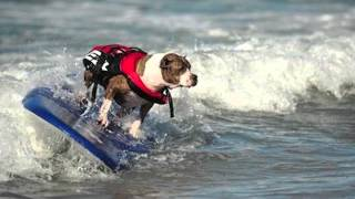 getlinkyoutube.com-Pitbulls and Parolees - Adoptee Ben and Surfing Pitbull Boss