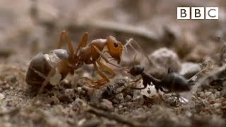 getlinkyoutube.com-Ant colony raids a rival nest - Natural World - Empire of the Desert Ants - BBC Two