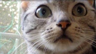 初めて野良猫に話しかけられ猫語で対応に困る猫~シャーっと威嚇されてチビリそう-Ame was talked a wild cat for the first time