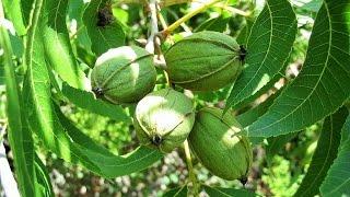 getlinkyoutube.com-Καρυδιάς Πεκάν. Η καλλιέργεια του πεκάν.