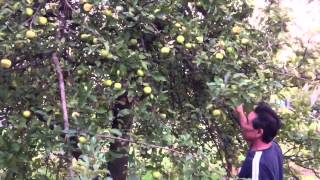 getlinkyoutube.com-เก็บแอปเปิ้ล picking apples