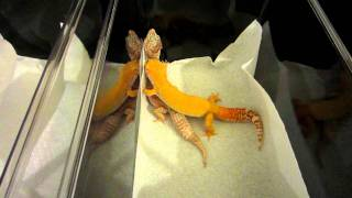 getlinkyoutube.com-Leopard Geckos Mating - Copulation - Giant Sunglow and Giant Mack Snow Tremper Albino