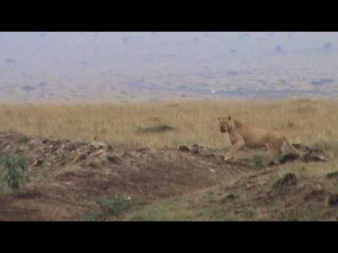 Lioness  Vs  Hyenas.mpg