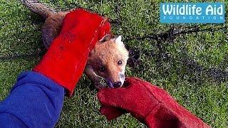 getlinkyoutube.com-GoPro Animal Rescue - Fox Trapped in a Net