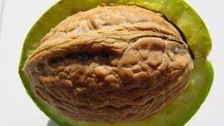 getlinkyoutube.com-Лёха & прививка грецкого ореха