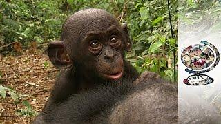 getlinkyoutube.com-Protecting Congo's Free-Loving Bonobos (2010)
